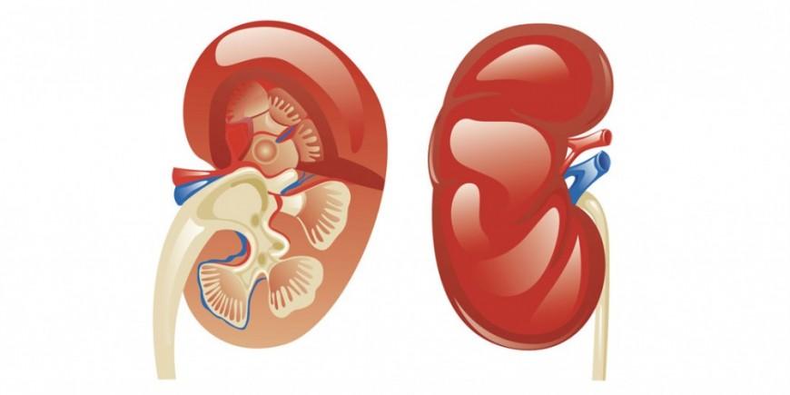 Anatomía de los riñones Médula renal - Onmeda.es