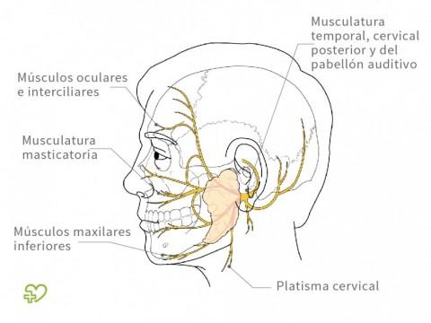 Parálisis facial periférica (prosopoplejía) Definición: Curso del ...