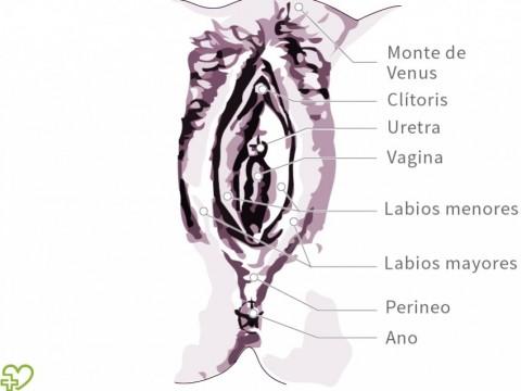 Anatomía de la mujer: órganos sexuales femeninos Órganos sexuales ...