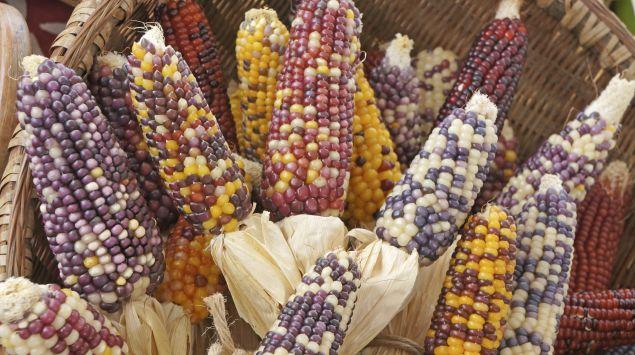 Man sieht Maiskolben mit verschiedenfarbigen Maiskörnern.