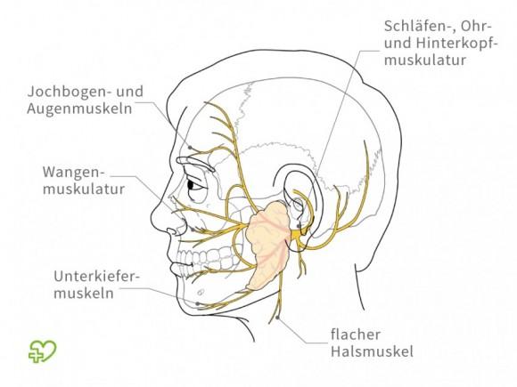 Nervus facialis (VII. Hirnnerv) || Med-koM