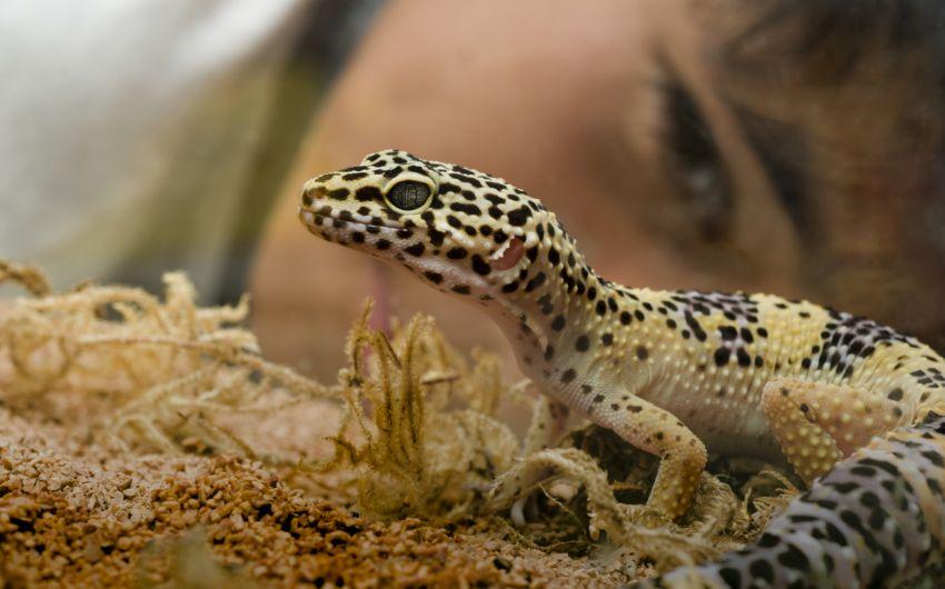 Vorsicht, Ansteckungsrisiko: Kaum jemand weiß, dass bis zu 90 Prozent aller Reptilien mit Salmonellen infiziert sind.