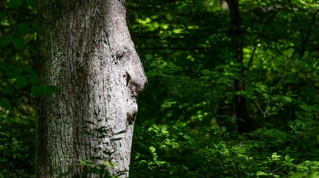 Man sieht scheinbar das Profil eines Gesichtes in einem Baumstamm.