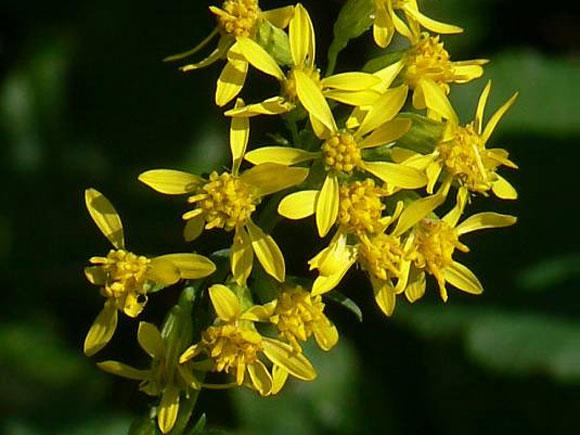 Man sieht den Blütenstand der Gewöhnlichen Goldrute (Solidago virgaurea).