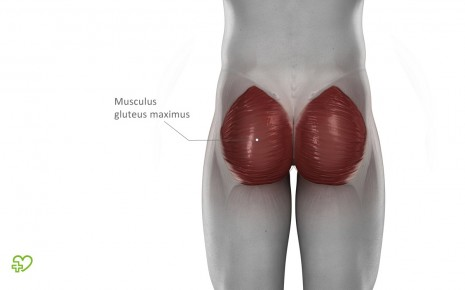 Anatomische Darstellung des Musculus gluteus maximus.