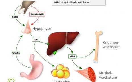 Eine grafische Darstellung über den Einfluss des Wachstumshormons auf den Fettabbau sowie das Muskel- und das Knochenwachstum.