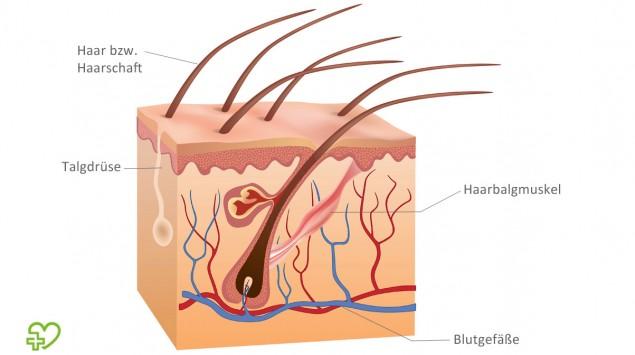 Eine Illustration einer Haarfollikel
