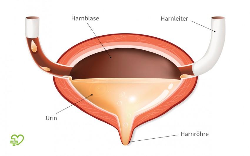 Die Harnblase fängt den in den Nieren gebildeten Urin auf.