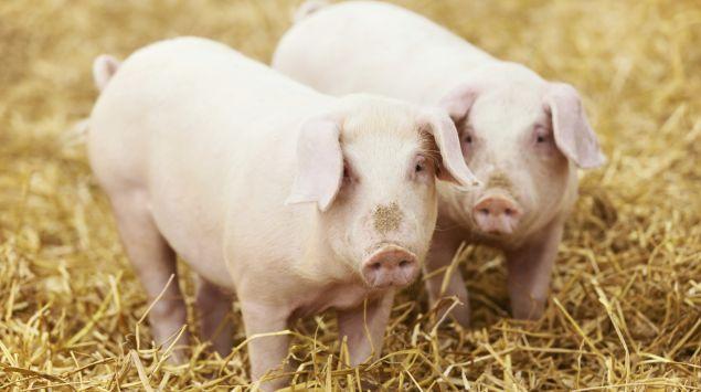 Man sieht zwei Hausschweine.