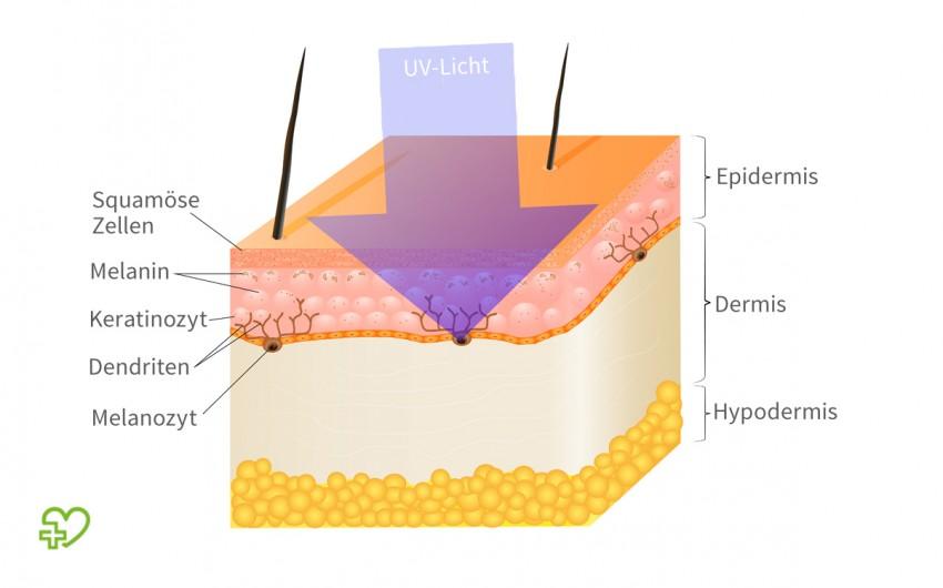 UV-Strahlung: Schematische Darstellung der Vorgänge bei der Hautbräunung
