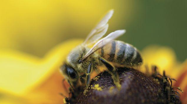 Das Bild zeigt eine Honigbiene, die eine Blume bestäubt.