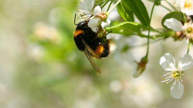 Das Bild zeigt eine Hummel an einer Blume.
