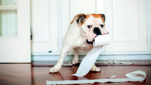 Ein Hund trägt Toilettenpapier im Maul.