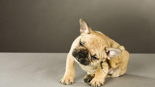 Ein junger Hund kratzt sich hinterm Ohr.
