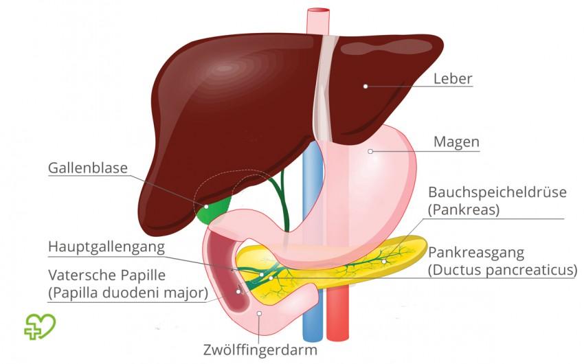 Der Hauptgallengang und der Pankreasgang fließen an der Vaterschen Papille in den Zwölffingerdarm.