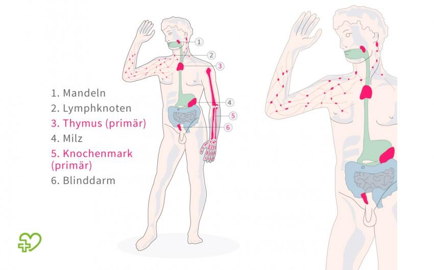 Diese Darstellung zeigt die primären und sekundären lymphatischen Organe des menschlichen Körpers.