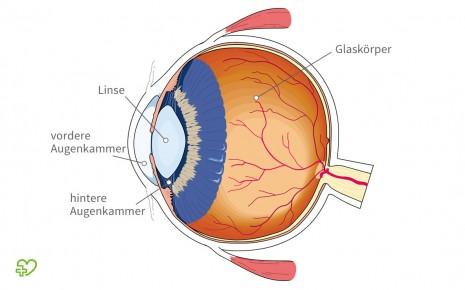 Eine grafische Darstellung des Innenraums des Auges. Gekennzeichnet sind die beiden Augenkammern, die Linse sowie der Glaskörper.