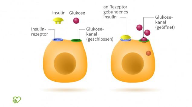 Man sieht eine schematische Darstellung der Insulin-Funktion.