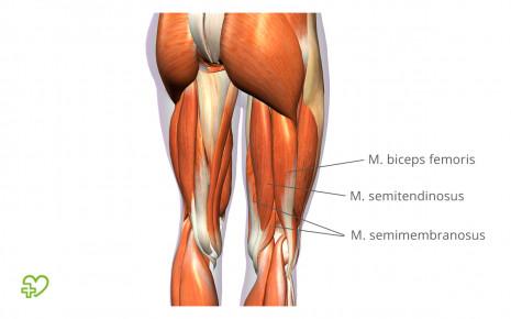 Hamstring-Schmerzen: Anatomie der rückseitigen Oberschenkelmuskeln