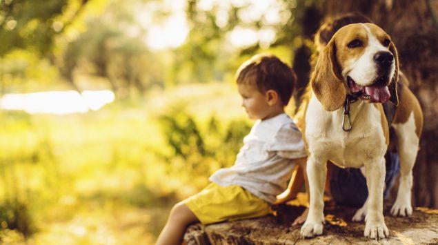 Das Bild zeigt einen Beagle mit einem kleinen Jungen im Hintergrund.