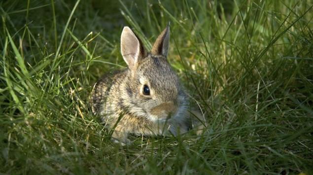 Ein Kaninchen liegt im Gras.