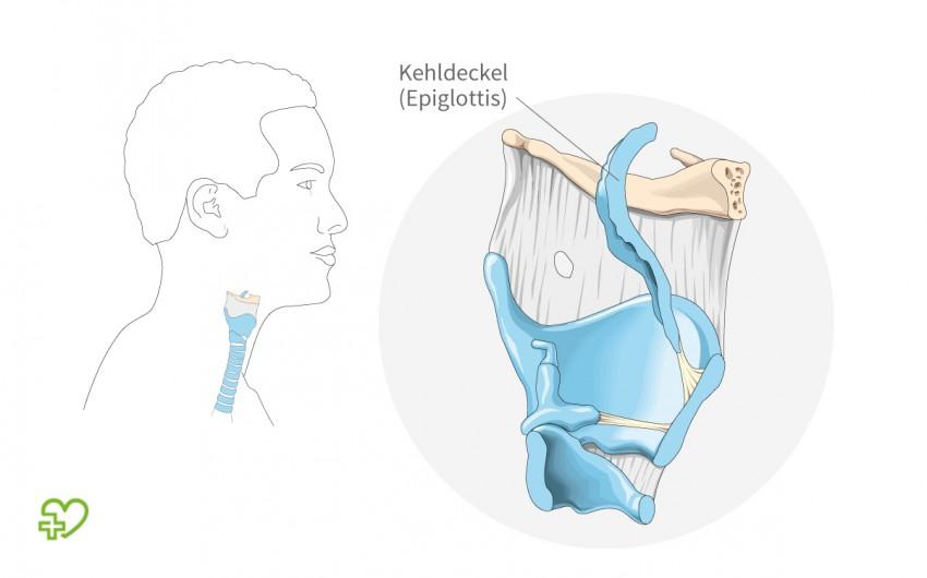 Schematische Darstellung des Kehlkopfs