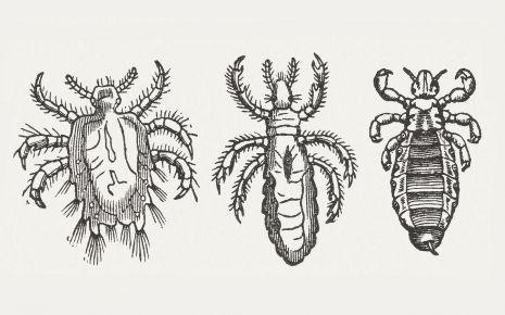 Von links nach rechts: Filzlaus, Kleiderlaus, Kopflaus. Filzläuse zeichnen sich durch ihren gedrungenen, schildförmigen Körper aus.