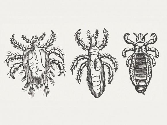 Von links nach rechts: Filzlaus, Kleiderlaus, Kopflaus.