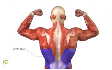 Muskeln: Bizeps, Trizeps & Co. Rückenmuskeln: Autochthone ...