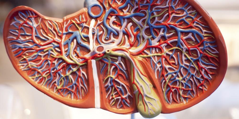 Modell einer Leber im Querschnitt mit Darstellung von Gallenwegen, Gallenblase und Gefäßen.