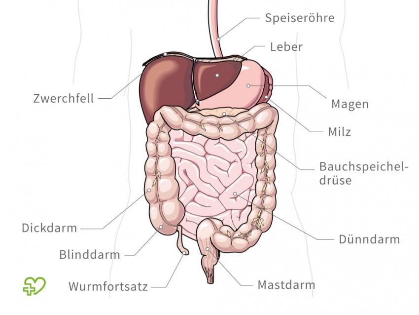 de tag Lage der Organe im menschlichen Körper