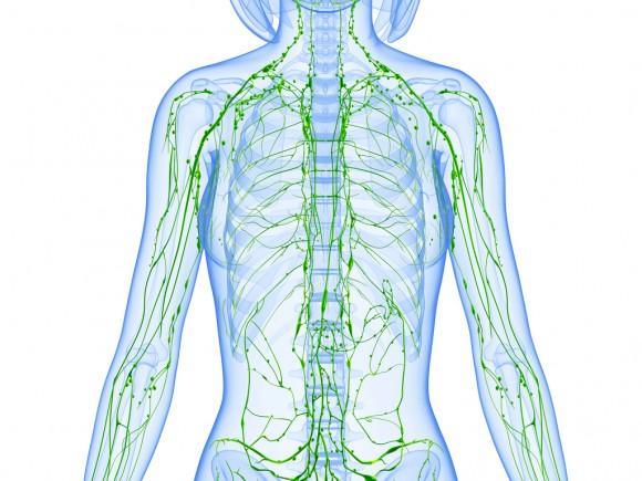 Die Lymphbahnen des Lymphsystems durchziehen den gesamten Körper. Dort, wo mehrere Lymphbahnen aufeinandertreffen, befindet sich jeweils ein Lymphknoten.