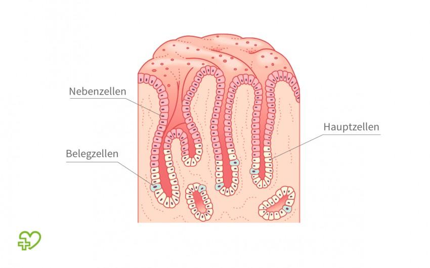 Illustration: Schnitt durch die Magenschleimhaut mit Darstellung der Magendrüsen.