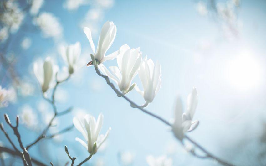 Frühlingsgefühle: Man sieht eine Magnolie mit Blüten.