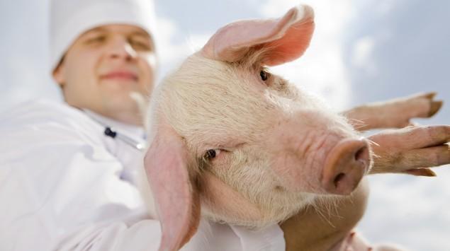 Ein Mann in weißer Berufskleidung hält ein Schwein auf dem Arm.