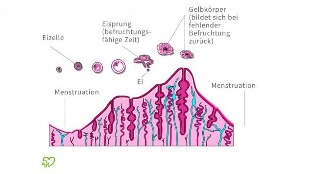 Eine grafisch Darstellung des Menstruationszyklus.