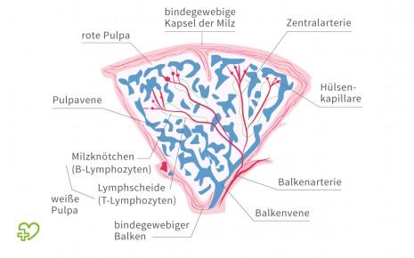 Die Milz: Welche Funktion sie im Körper? - Onmeda.de
