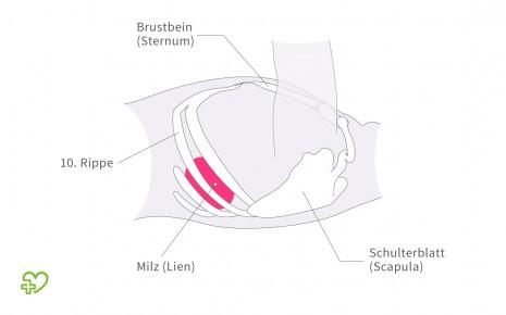 Man sieht die Lage der Milz im Brustkorb.