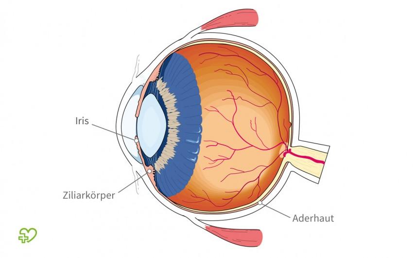 Der Aufbau des Auges im Querschnitt. Gekennzeichnet ist die Aderhaut, der Ziliarkörper und die Iris.