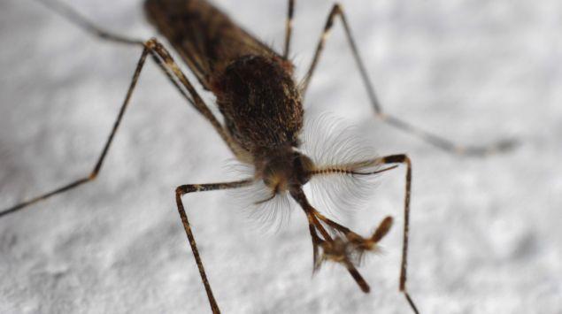 Das Bild zeigt eine  Mücke.