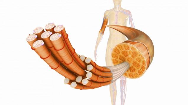 Muskel: Anatomie