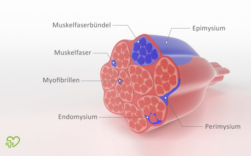 Eine grafische Darstellung eines Muskels. Alle Muskeln sind umhüllt von einer Faszienschicht, dem sogenannten Epimysium.
