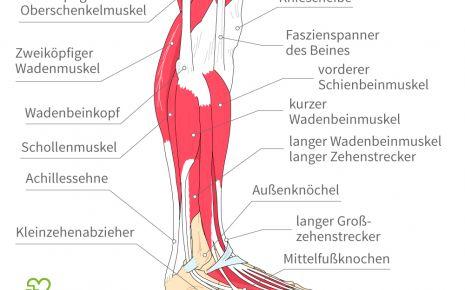 Die Anatomie des menschlichen Beins