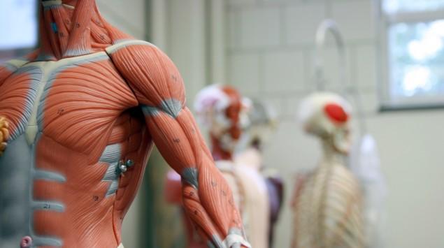 Ein anatomisches Modell mit Muskeln.