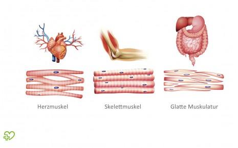 Muskeln: Bizeps, Trizeps & Co. Quergestreifte und glatte Muskulatur ...