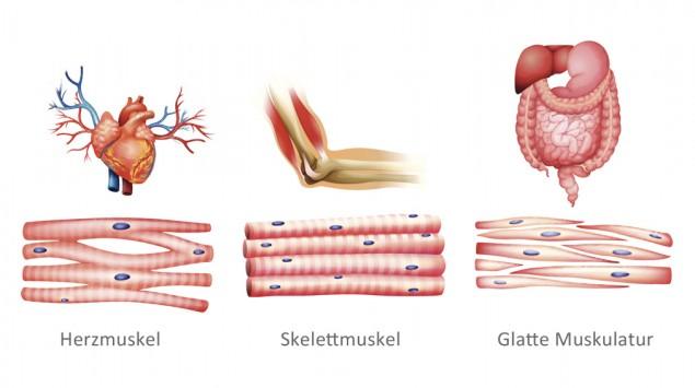 Illustration der verschiedenen Muskeltypen