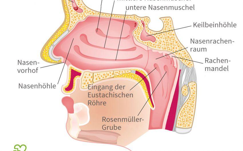 Die Nase dient nicht nur dem Riechen, sie ist auch Teil der Atemwege. Eine verstopfte Nase erschwert also nicht nur das Riechen, sondern behindert auch die Atmung.