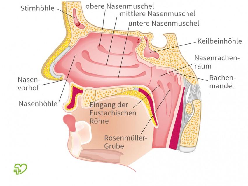Niedlich Die Nase Anatomie Galerie - Anatomie Von Menschlichen ...