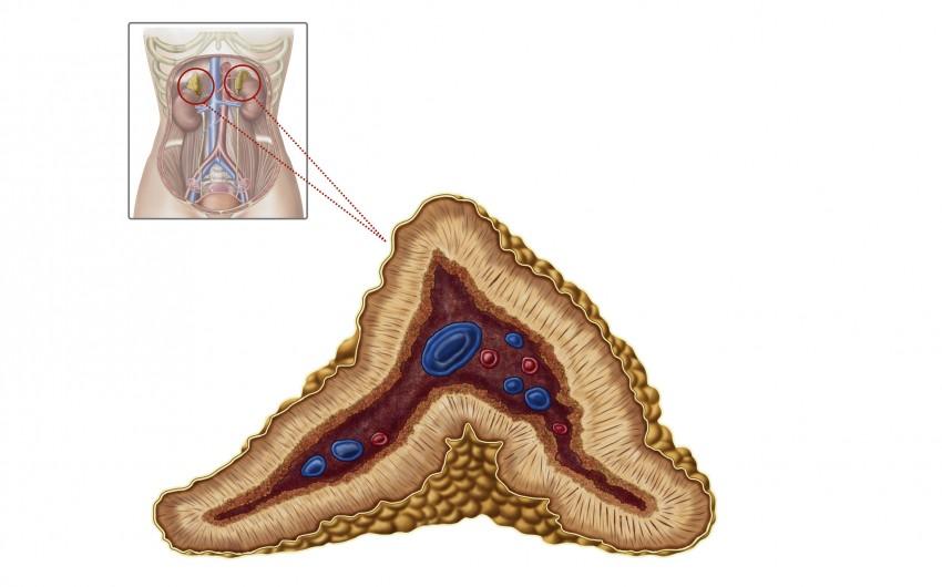 Illustration der Nebennieren