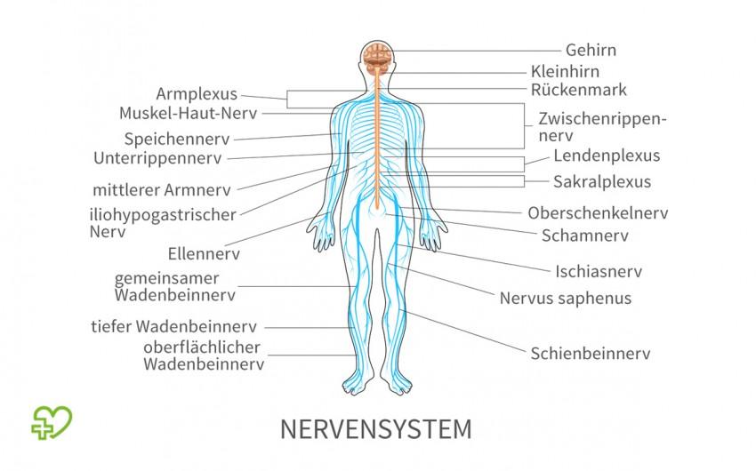 Schematische Darstellung des menschlichen Nervensystems